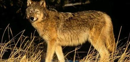 4th Grade Great Plains Wolf